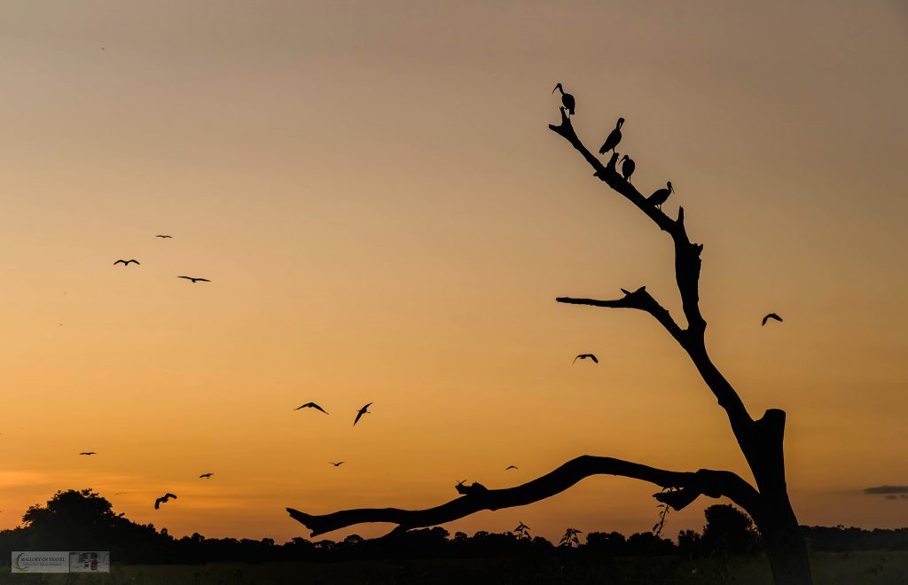 Sunset in the Pantanal at the roosting tree at Araras ecolodge in the Mato Grosso region of Brazil on Mallory on Travel adventure travel, photography, travel Iain_Mallory_Patanal-3829