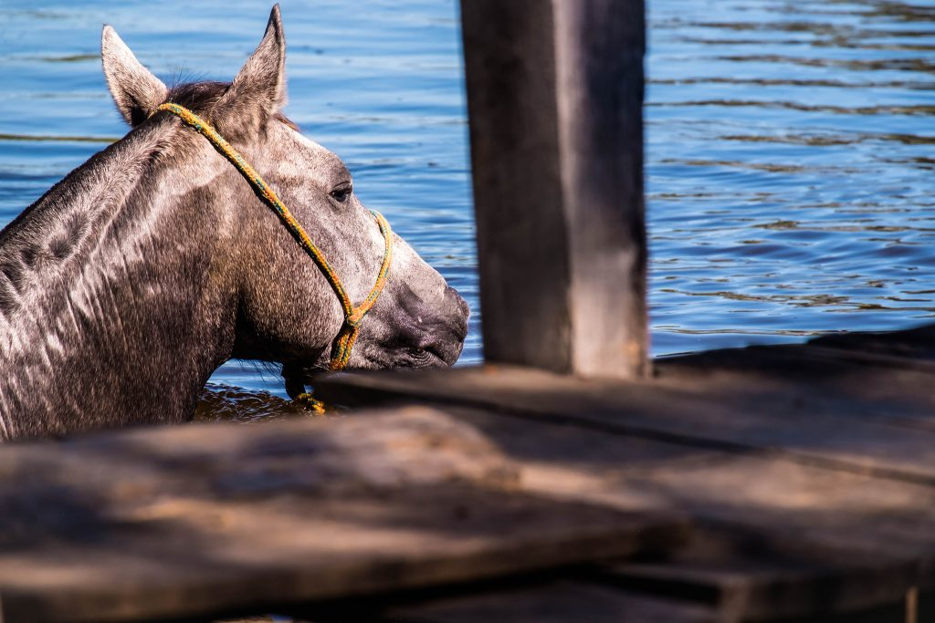 A cowboy horse swimming in the wetlands of the Pantanal on the Araras ecolodge in the Mato Grosso region of Brazil on Mallory on Travel adventure travel, photography, travel Iain_Mallory_Patanal-4216