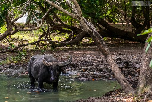 A water buffalo on Rinca Island in the Komodo Islands of Indonesia on Mallory on Travel adventure travel, photography, travel iain-mallory_indo-001-22