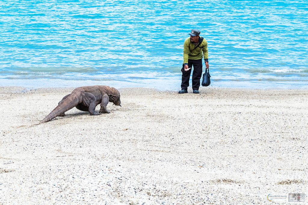 A ranger feeding a Komodo dragon on the island of Komodo in the Indonesian archipelago on Mallory on Travel adventure travel, photography, travel iain-mallory_indo-001-68