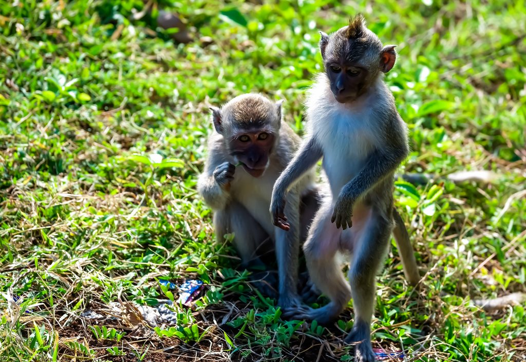 Monkeys before the Kecak Fire Dance Performance at Uluwatu Temple in Bali, Indonesia on Mallory on Travel adventure travel, photography, travel iain-mallory_indo-1-153