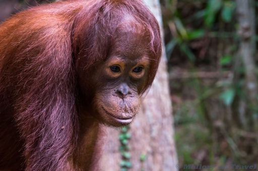 An adolescent orangutan at Camp Leakey on the Sekonyer River in Tanjung Puting National Park, Kalimantan in Borneo, Indonesia on Mallory on Travel adventure travel, photography, travel Iain Mallory_Indo-1-233