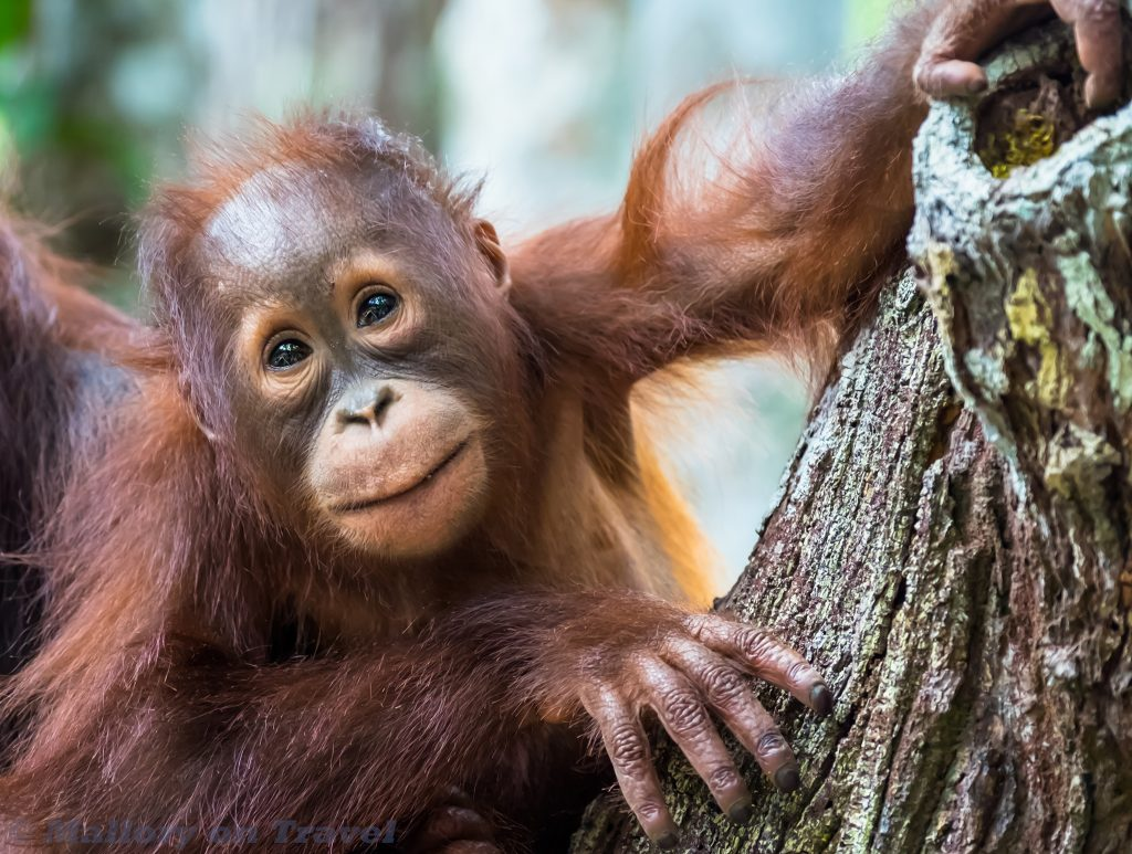 A baby orangutan at Camp Leakey on the Sekonyer River in Tanjung Puting National Park, Kalimantan in the Indonesian forest of Borneo on Mallory on Travel adventure travel, photography, travel Iain Mallory_Indo-1-244
