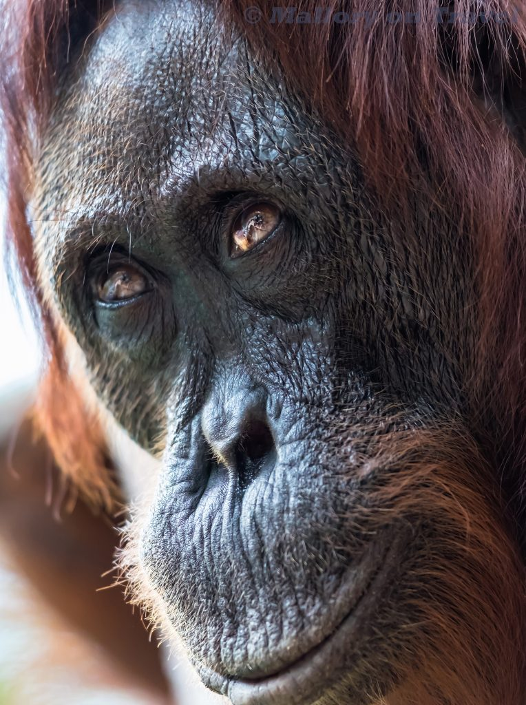 A female orangutan at Camp Leakey in Tanjung Puting, Kalimanton in Borneo, Indonesia on Mallory on Travel adventure travel, photography, travel Iain Mallory_Indo-1-249