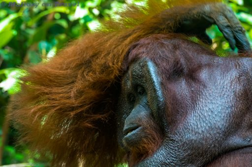Doeyo, king of the orangutans in Tanjung Puting National Park, Kalimantan in Borneo, Indonesia on Mallory on Travel adventure travel, photography, travel Iain Mallory_Indo-1-276