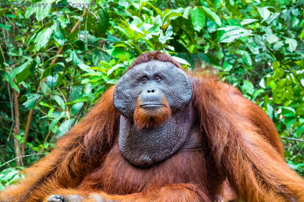 Doeyo, king of the orangutans in Tanjung Puting National Park, Kalimantan in Borneo, Indonesia on Mallory on Travel adventure travel, photography, travel Iain Mallory_Indo-1-299