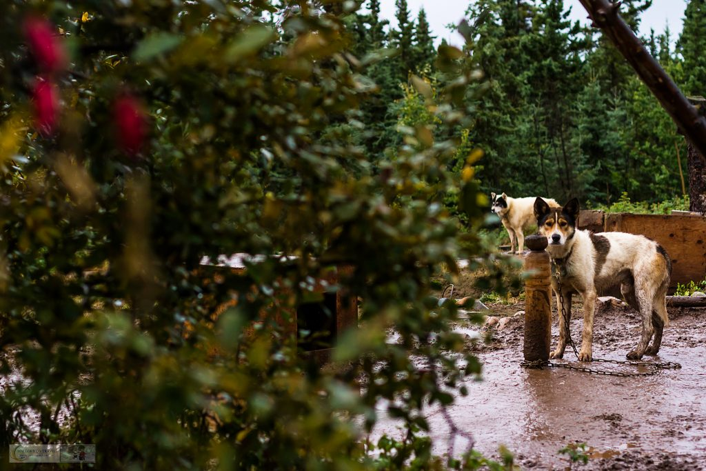 Sled dogs at Cathers Wilderness Adventures in the Yukon near Whitehorse on Mallory on Travel adventure travel, photography, travel iain-mallory_yukon-013