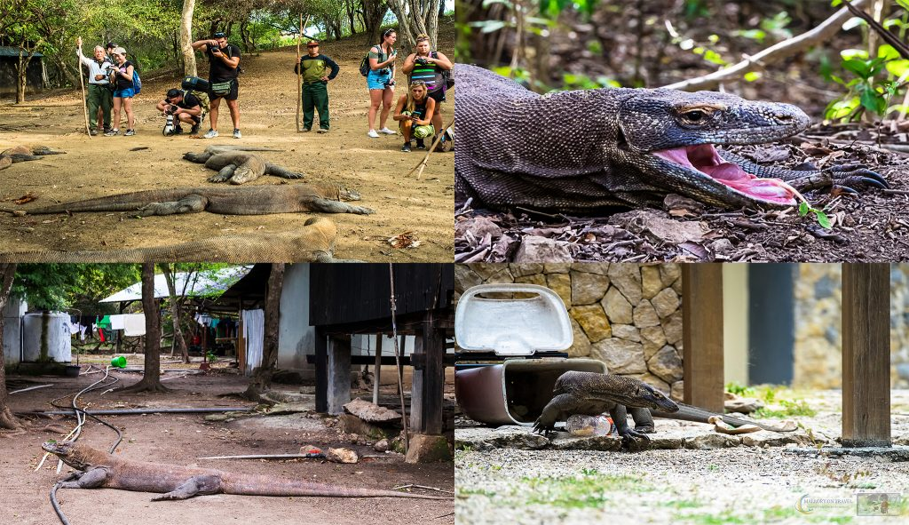 Komodo dragons found on the islands of Rinca and Komodo in the Indonesian archipelago on Mallory on Travel adventure travel, photography, travel iain_mallory-indomontage2