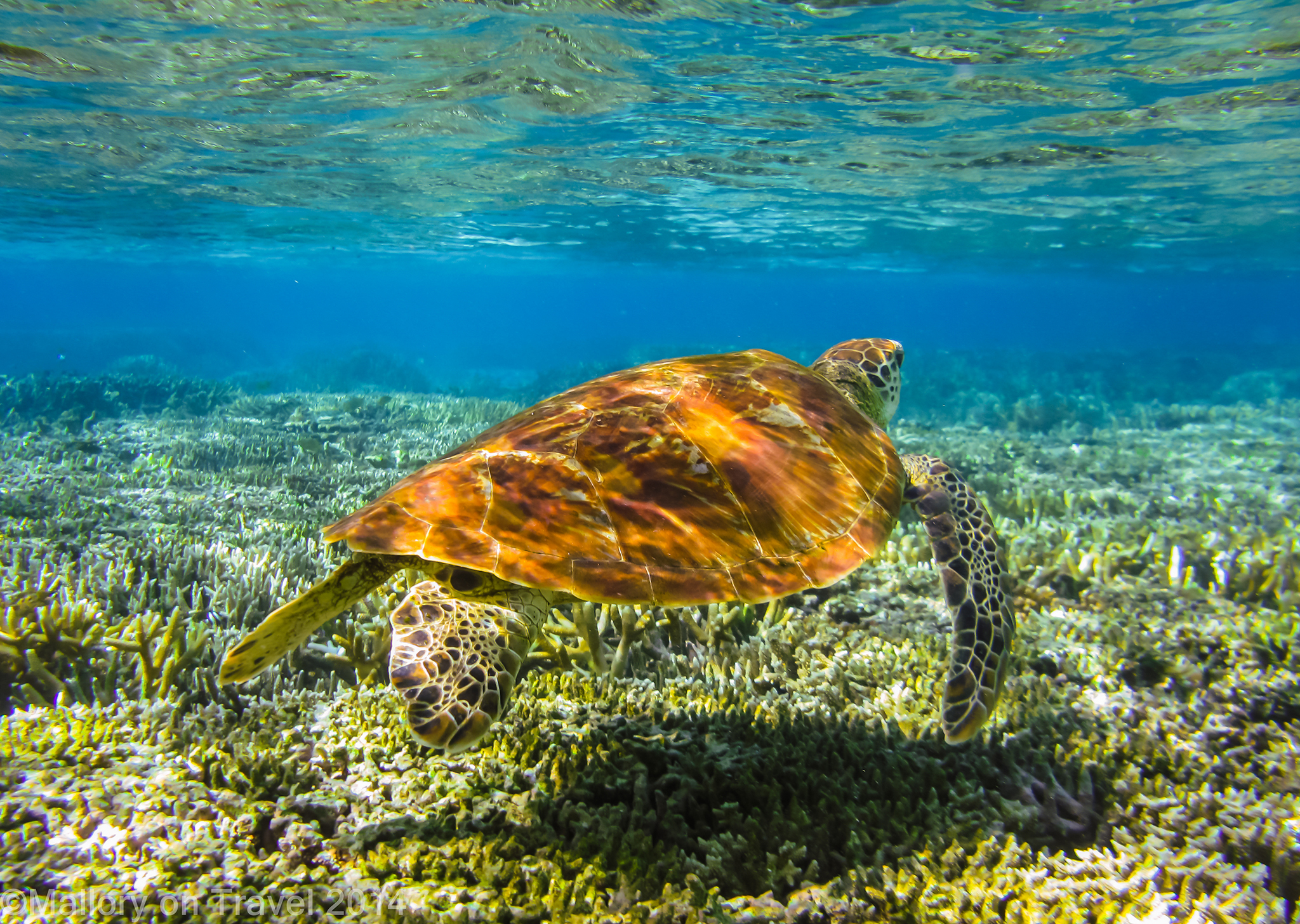A green turtle on the Great Barrier Reef, Queensland in Australia on Mallory on Travel adventure travel, photography, travel iain-mallory-300-34