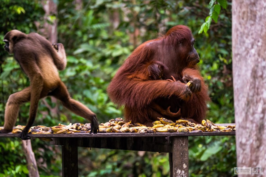 Last chance tourism; Orangutan family and gibbon at Camp Leakey in the Tanjung Puting National Park of Kalimantan on the island of Borneo in the Republic of Indonesia on Mallory on Travel adventure travel, photography, travel iain-mallory_indo-1-197