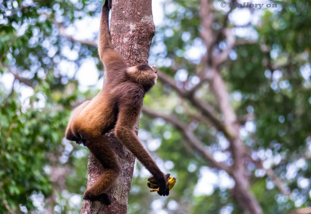 A gibbon at Camp Leakey, Tanjung Puting National Park, Kalimantan on the third largest island in the World, Borneo in the Republic of Indonesia on Mallory on Travel adventure travel, photography, travel iain-mallory_indo-1-215