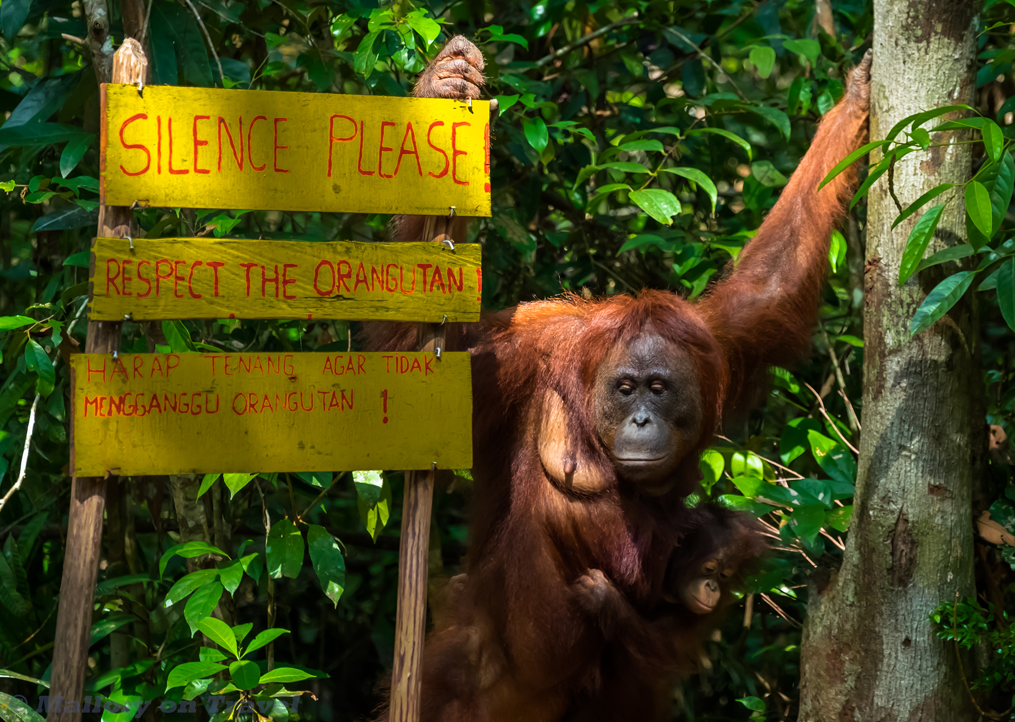 Orangutans at Camp Leakey © Copyright of Mallory on Travel 2016 Orangutans at Camp Leakey in the Tanjung Puting National Park of Kalimantan on the Indonesian island of Borneo on Mallory on Travel adventure travel, photography, travel iain-mallory_indo-1-315