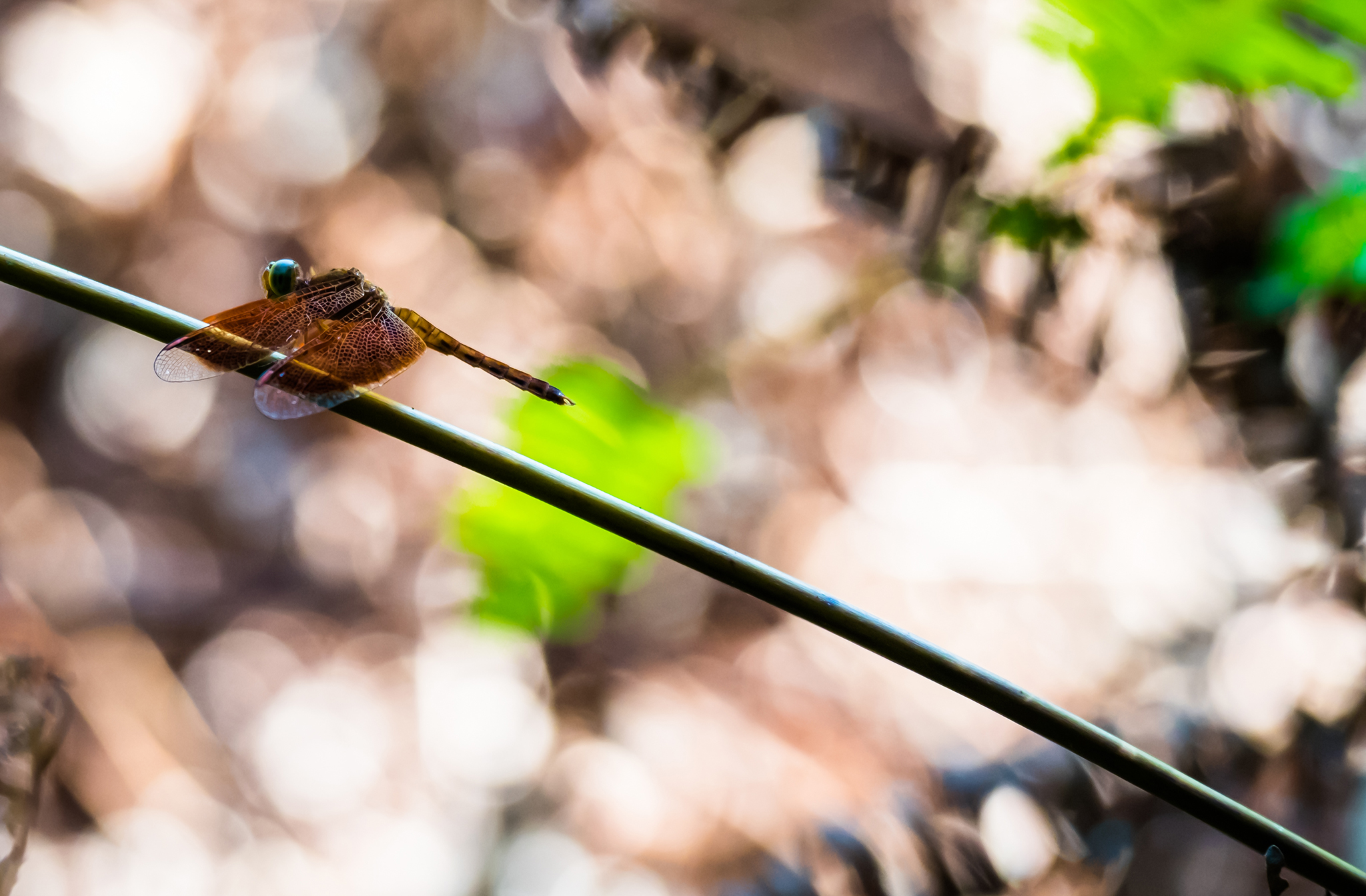 A dragonfly at Camp Leakey, Tanjung Puting, Borneo in the Republic of Indonesia on Mallory on Travel adventure travel, photography, travel iain-mallory_indo-1