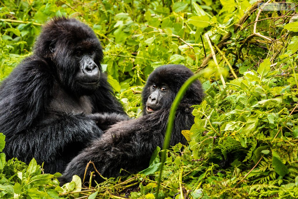 Last Chance Tourism; Mountain gorillas of the Titus troop on a gorilla trekking safari in Volcano National Park in north Rwanda in east Africa on Mallory on Travel adventure travel, photography, travel iain_mallory_rwanda-9616a