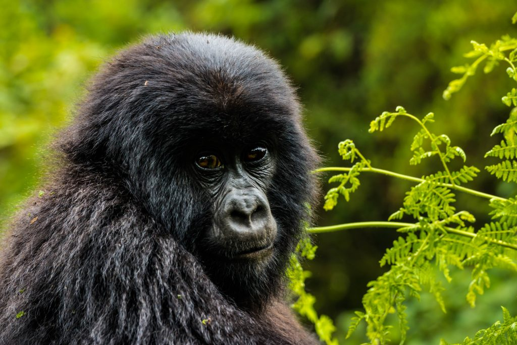 Travel inspiration; A young mountain gorilla in Volcano National Park, Rwanda on Mallory on Travel adventure travel, photography, travel iain_mallory_rwanda-9720