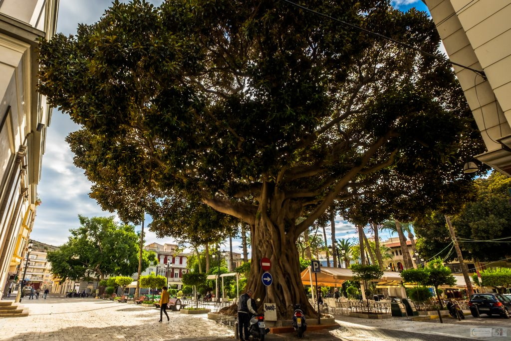 Street life in Murcia; Large, ancient cypress trees are part of the architecture in the city of Murcia, Spain on Mallory on Travel adventure travel, photography, travel Iain Mallory_Murcia 001-101