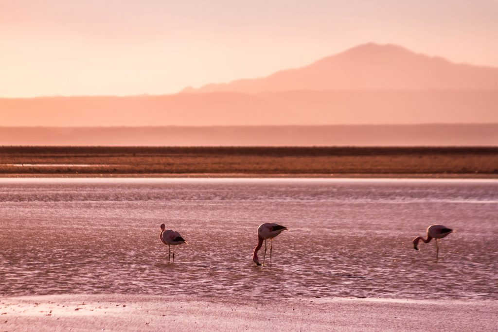Travel inspiration; Pink flamingos in the saltflats of the Atacama Desert in Chile on Mallory on Travel adventure travel, photography, travel Iain Mallory_9082