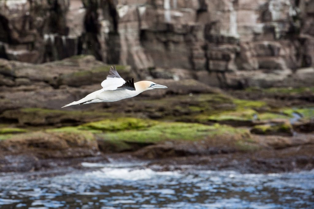 Adventure is freedom, a gannet in flight in the Shetland Islands of Scotland on Mallory on Travel adventure travel, photography, travel Iain Mallory Scotland_9752