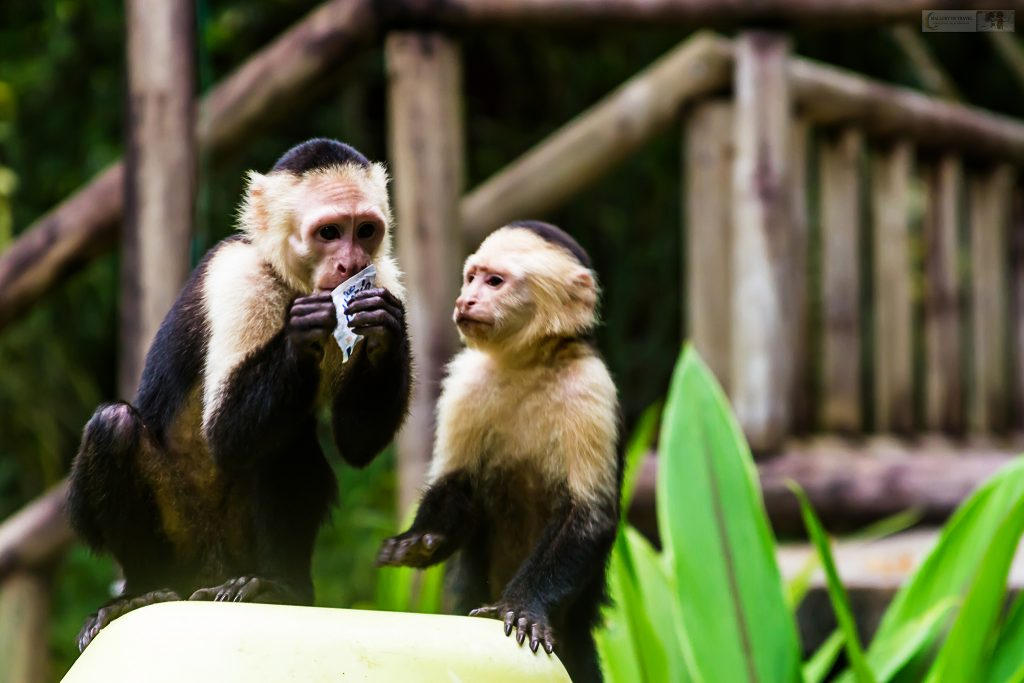 Capuchins in Tortuguera canals, Costa Rica in Central America on Mallory on Travel adventure travel, photography, travel Iain Mallory_CostaRica 001-100