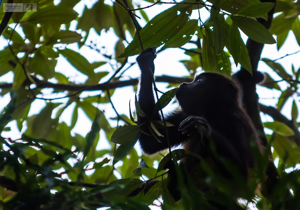 Spider monkey in the swamps of Tortuguera in Costa Rica on Mallory on Travel adventure travel, photography, travel Iain Mallory_CostaRica 001-94