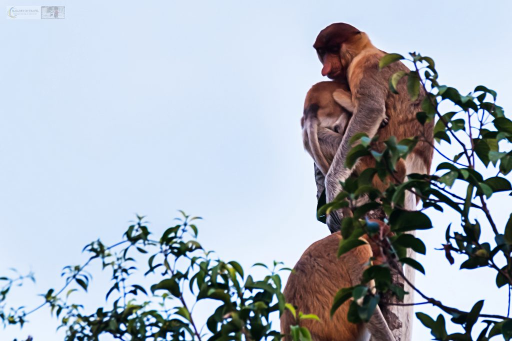 Proboscis monkeys in Tanjung Puting, on the Sekonyer River in central Kalimantan on the island of Borneo in the Republic of Indonesia on Mallory on Travel adventure travel, photography, travel Iain Mallory_Indo 001-91