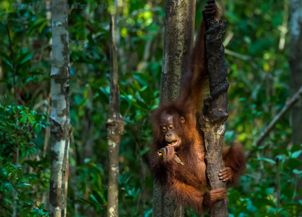 The family of monkeys; A young orangutan in Tanjung Puting, on the Sekonyer River in central Kalimantan on the island of Borneo in the Republic of Indonesia on Mallory on Travel adventure travel, photography, travel Iain Mallory_Indo-1-327