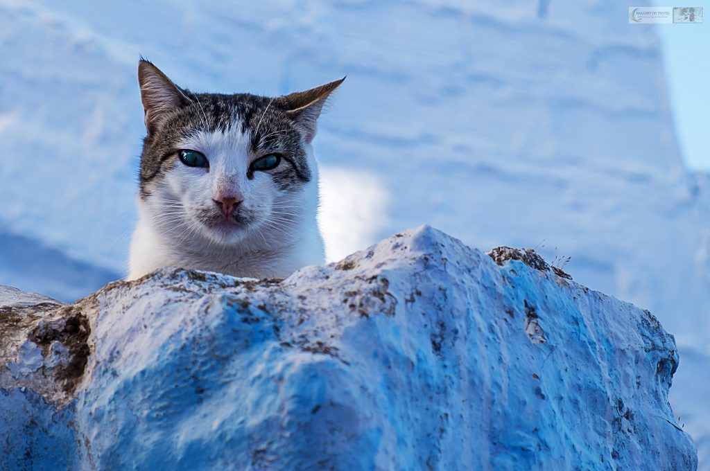 One of Chefchaouen cats looks down from a wall in the Blue City of Morocco in North Africa on Mallory on Travel adventure travel, photography, travel Iain Mallory_Morocco 053