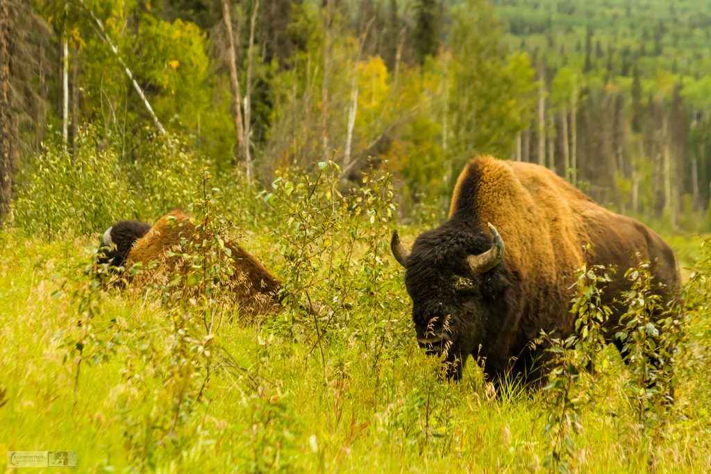 British Columbia's roadside bison on the Alaska Highway near Watson Lake in the Yukon, Canada on Mallory on Travel adventure travel, photography, travel Iain Mallory_Yukon 032