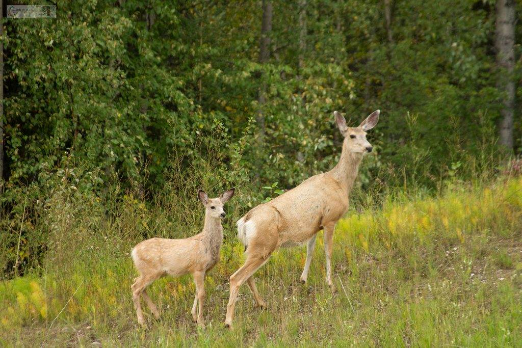 White-tailed deer on the Alaska Highway in British Columbia nea Watson Lake in The Yukon, Canada on Mallory on Travel adventure travel, photography, travel Iain Mallory_Yukon 040