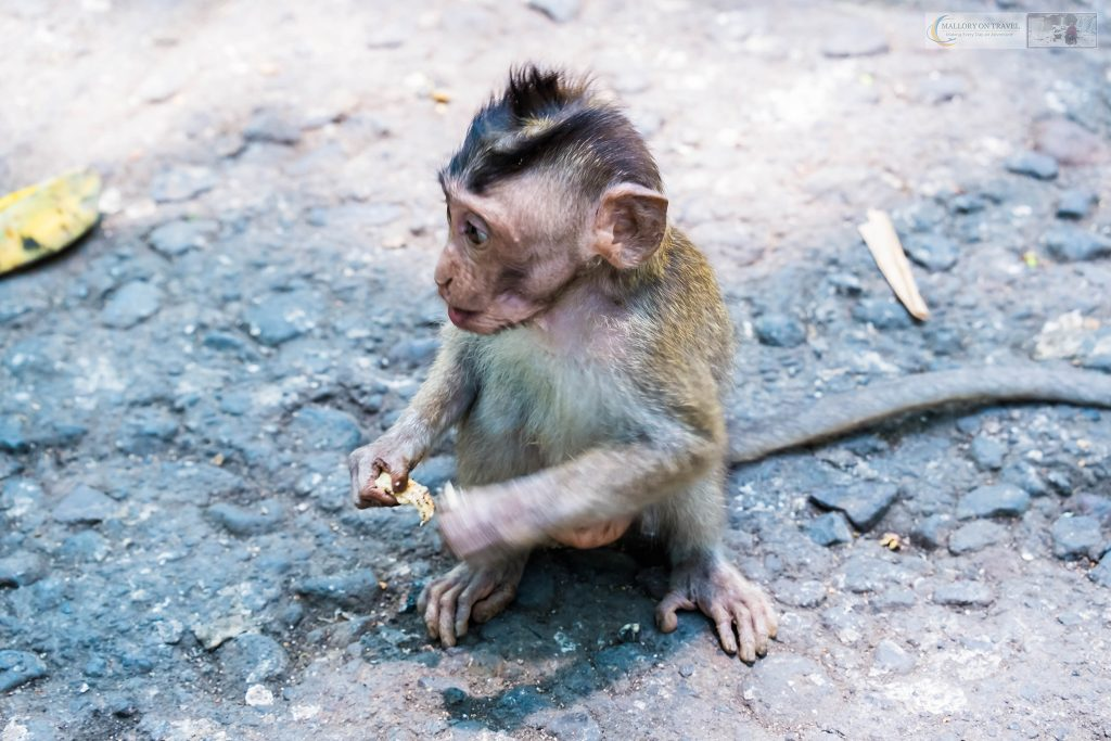 A baby macaque monkey at the sacred forest monkey sanctuary in Ubud, Bali in the Republic of Indonesia on Mallory on Travel adventure travel, photography, travel Iain Mallory_monkey9420