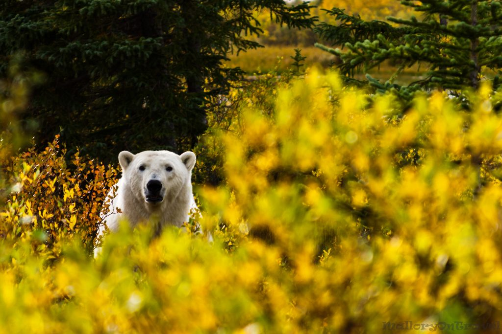 Favourite photos; A lone polar bear in the autumnal colours of the tundra on the edge of the Hudson Bay, Manitoba in Canada on Mallory on Travel adventure travel, photography, travel Iain Mallory_polarMG_3795