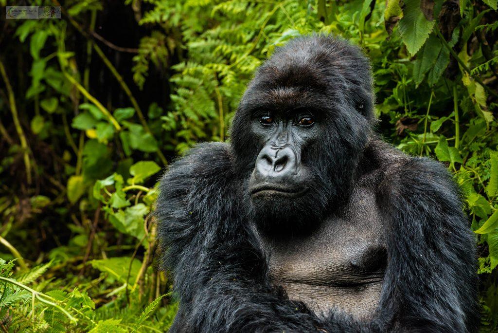 The family of monkeys; A silver back male mountain gorilla in the Volcano National Park, Rwanda in Africa on Mallory on Travel adventure travel, photography, travel Iain_Mallory_Rwanda-9710