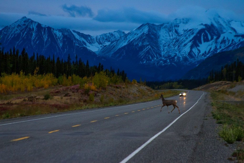 Deer crossing in front of a vehicle seen on a road trip in the Yukon, Canada on Mallory on Travel adventure travel, photography, travel Iain Mallory_Fireworks-1-63