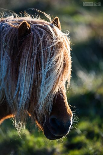 Highland road trip highlights, a Shetland pony in the highlands and islands of Scotland's north-west coast on Mallory on Travel adventure travel, photography, travel Iain Mallory_Scotland 001-15