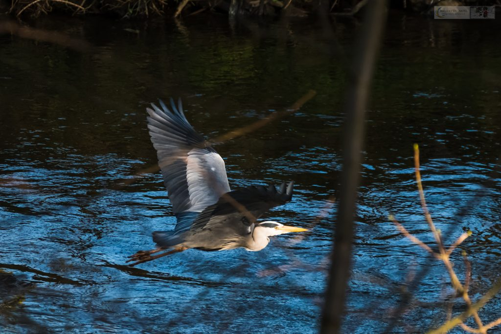 A grey heron in flight over the River Goyt, which runs through Brabyns Park in Marple Bridge, Cheshire on Mallory on Travel adventure travel, photography, travel Iain Mallory_Goyt-1-10