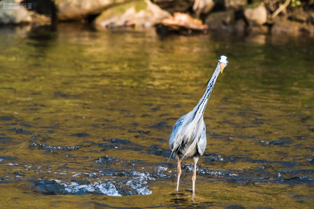 A grey heron watching the river bank of the River Goyt in Brabyns Park, in Marple, Cheshire on Mallory on Travel adventure travel, photography, travel Iain Mallory_Goyt-1-6