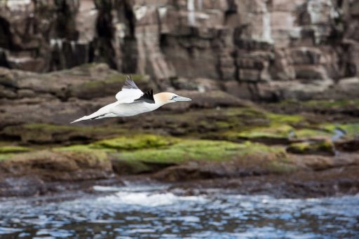 Earth Day; A gannet in flight off the coastal cliffs of Shetland in the highlands and islands of Scotland on Mallory on Travel adventure travel, photography, travel Iain Mallory_9752