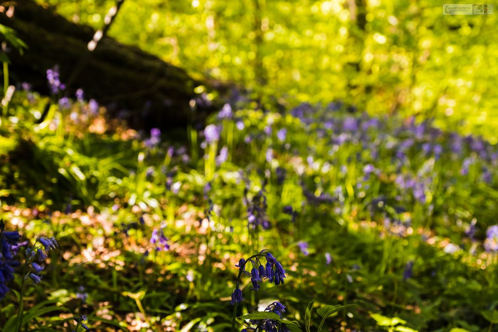 Springtime in Cheshire; A bluebell glade in the Peak Forest in Romiley, Cheshire on Mallory on Travel adventure travel, photography, travel Iain Mallory_Goyt-1
