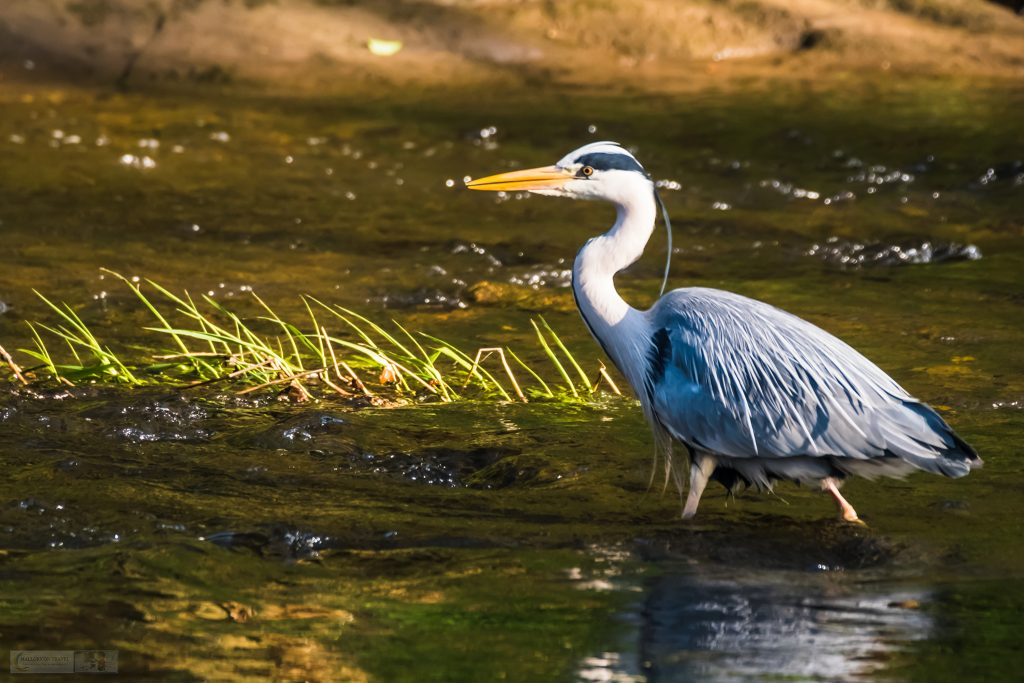 Springtime in Cheshire; a hunting grey heron on the River Goyt, near Marple in Cheshire on Mallory on Travel adventure travel, photography, travel Iain Mallory_Goyt-1-5