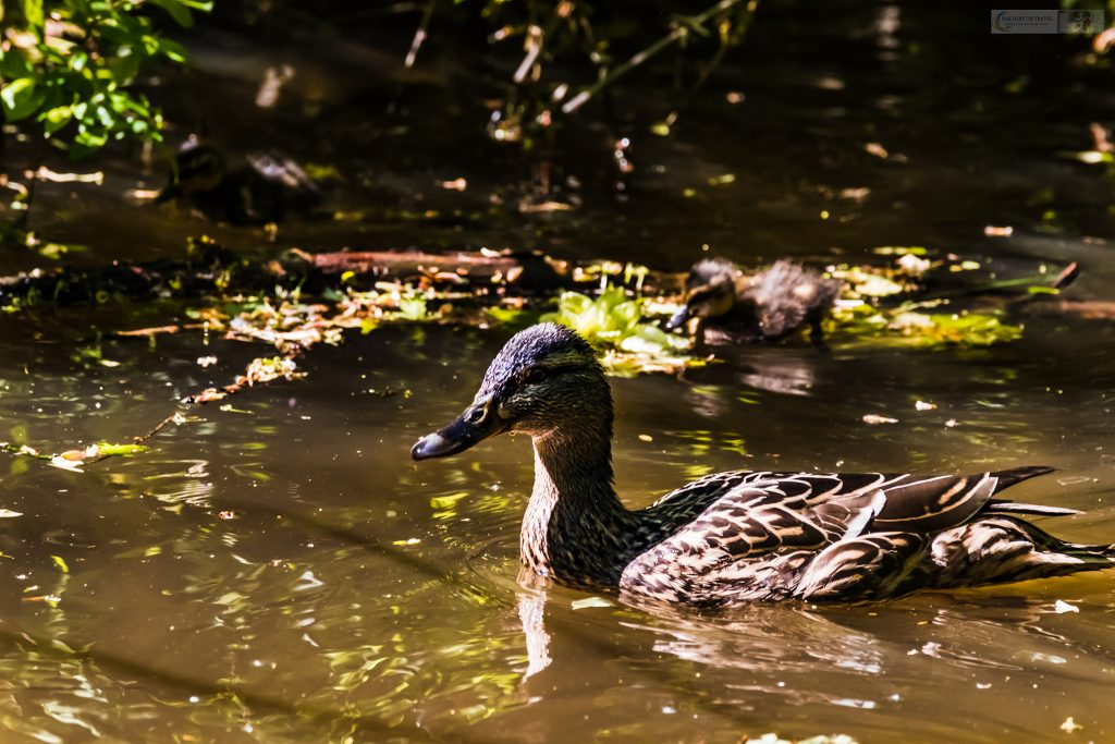 Springtime in Cheshire; a mother mallard duck and duckling on the Peak Forest Canal, near Romiley and Marple in Cheshire on Mallory on Travel adventure travel, photography, travel Iain Mallory_Marple-11