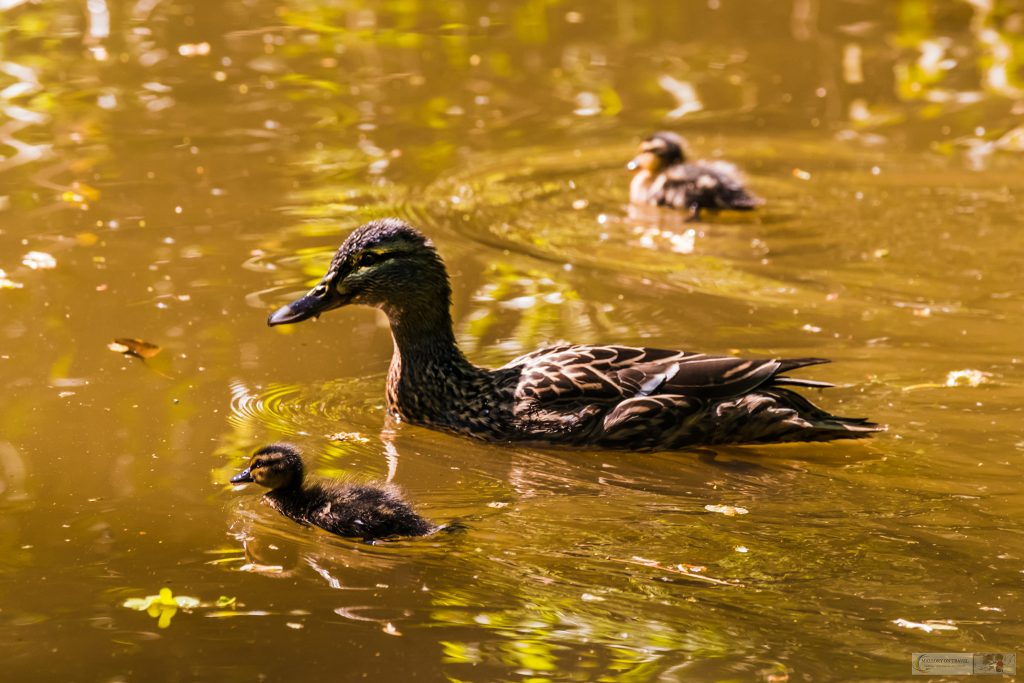 Springtime in Cheshire; Mallard mother and ducklings near Marple on the Peak Forest Canal in Cheshire on Mallory on Travel adventure travel, photography, travel Iain Mallory_Marple-12