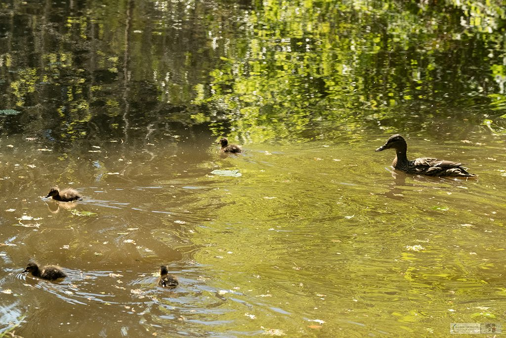 Springtime in Cheshire; A Mallard duck and her family of ducklings on the Peak Forest Canal in Romiley, Cheshire on Mallory on Travel adventure travel, photography, travel Iain Mallory_Marple-13a