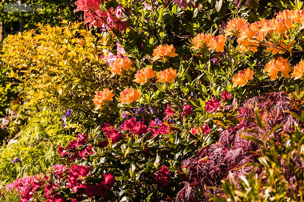 Springtime in Cheshire, a Marple garden in full bloom, vibrant colour in the gardens of Cheshire on Mallory on Travel adventure travel, photography, travel Iain Mallory_Marple-14