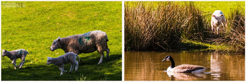 Springtime in Cheshire; playful lambs near the Peak Forest Canal, Marple in Cheshire on Mallory on Travel adventure travel, photography, travel Iain Mallory_Montage-1