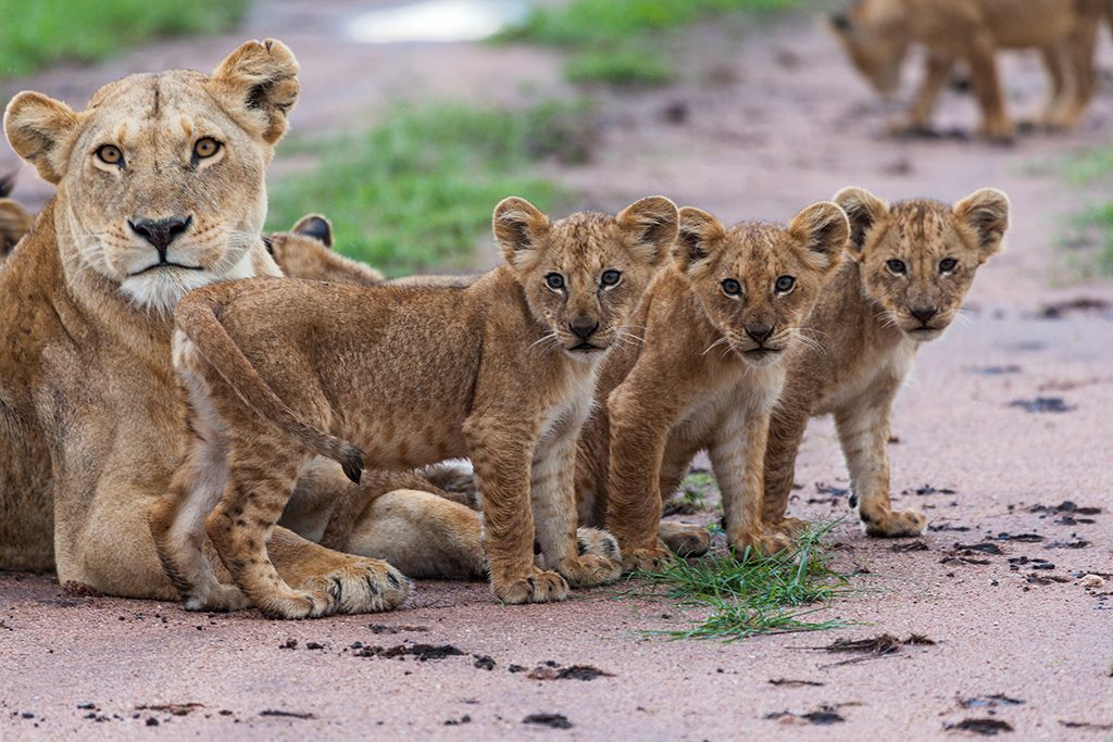 Lion cubs at Kidepo National Park, Uganda, Africa on Mallory on Travel adventure travel, photography, travel