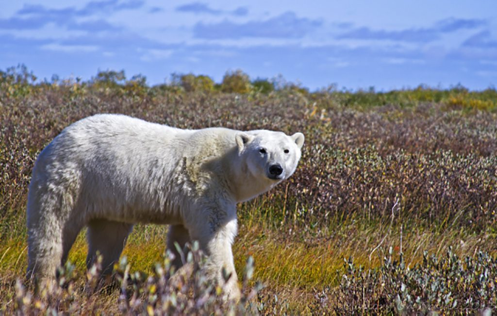 Best of Canada; A mother polar bear near Hudson Bay in northern Manitoba, Canada on Mallory on Travel adventure travel, photography, travel Iain Mallory-300-59