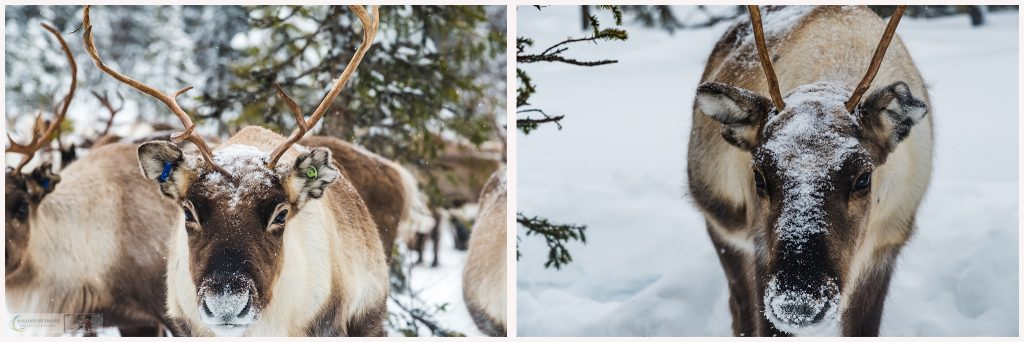 Curious reindeer in Laponia, Swedish Lapland in the north of Sweden, inside the Arctic Circle on Mallory on Travel adventure travel, photography, travel Iain Mallory_MontageLapland-6