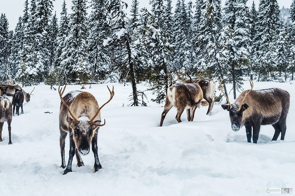 A Swedish lapland reindeer herd inside the Arctic Circle on Mallory on Travel adventure travel, photography, travel Iain Mallory_lapland-1-316