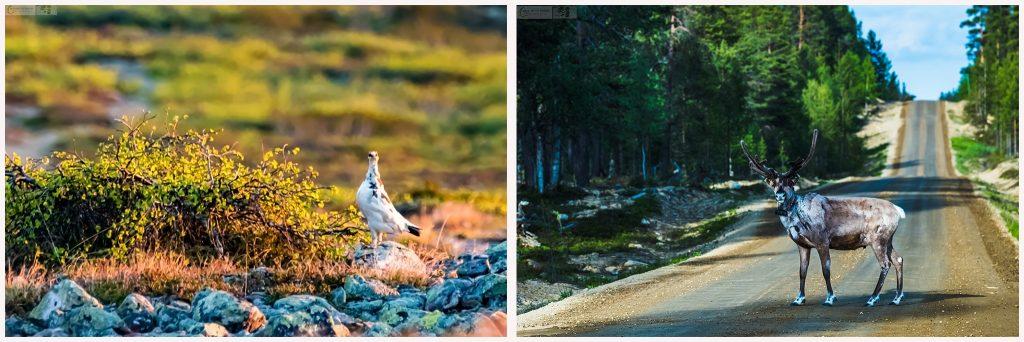 Wildlife under a nightless night, ptarmigan on Kiilopää fell and a reindeer near Saarisfelkä, Inari in Finnish Lapland on Mallory on Travel adventure travel, photography, travel Iain Mallory_Finland-montage1