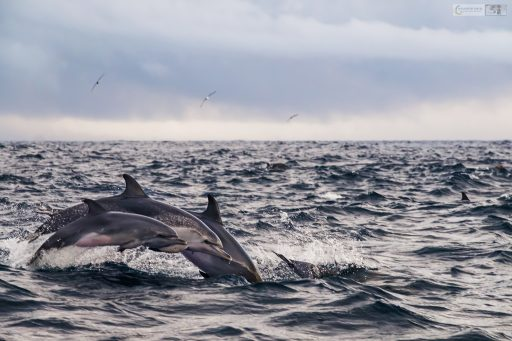 A super pod of Atlantic spotted dolphins off the Lajes do Pico, on the island of Pico in the Azores, Portugal on Mallory on Travel adventure travel, photography, travel Iain Mallory_azores-1-2